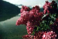Сирень. Запах обалдеванный... Май 2003 г. Курорт Целль-ам-Зее - Капрун / Австрия.