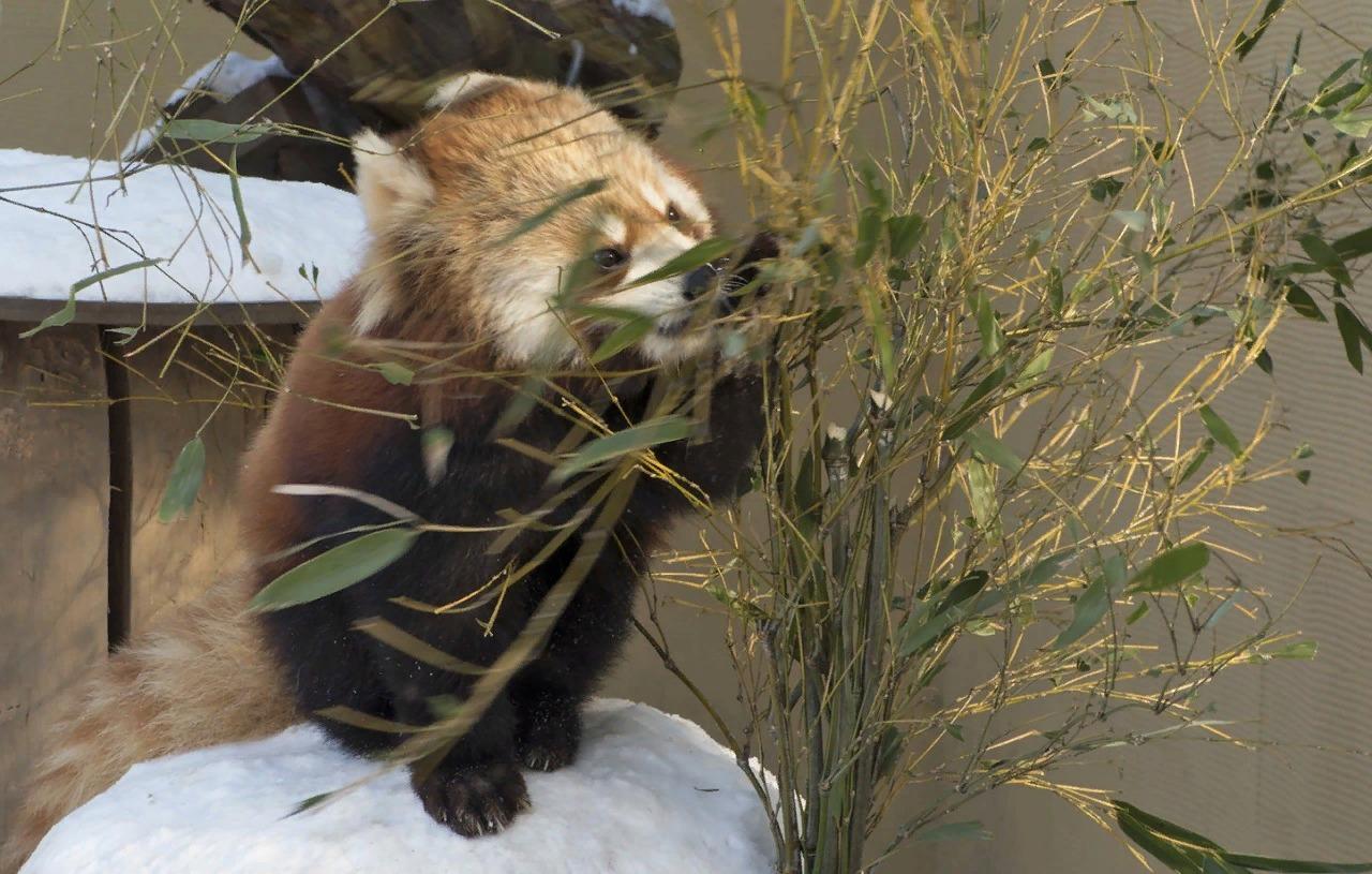 Красная панда в зоопарке г. Асахикава.