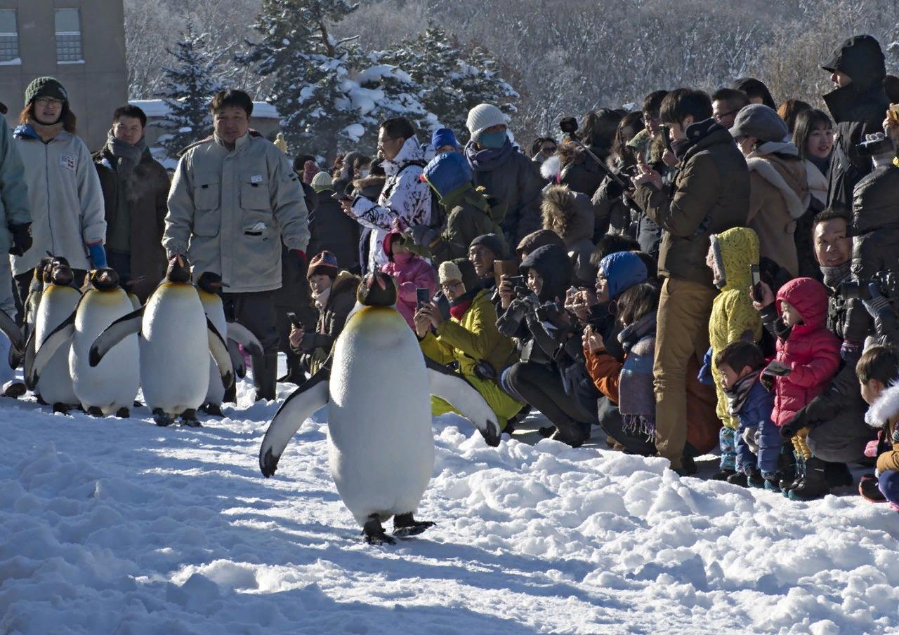 Парад пингвинов в зоопарке г. Асахикава.